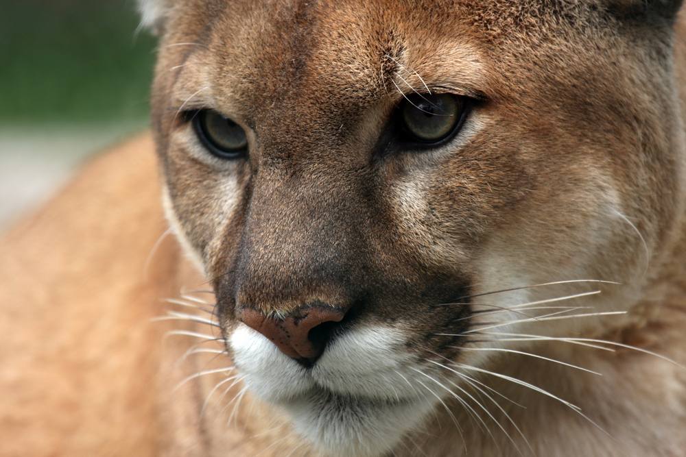 Up close and personal with a cougar.