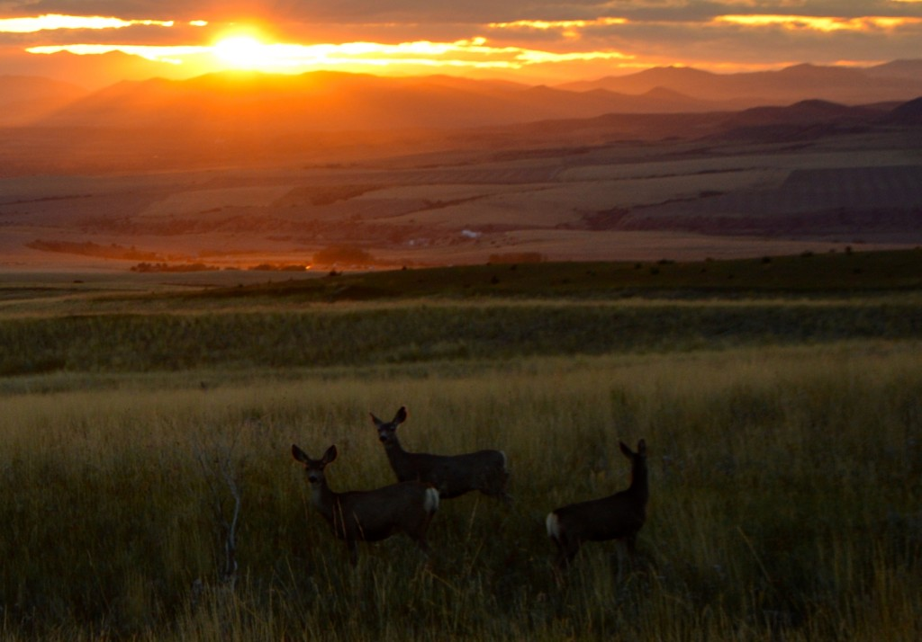 Mule deer raise their heads from grazing.